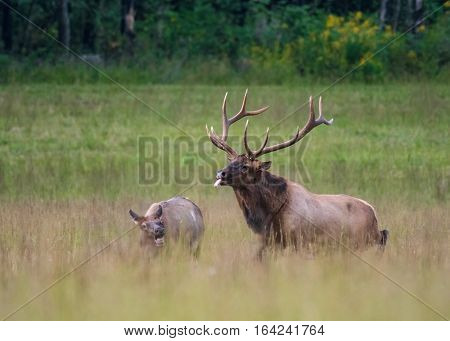Bull Elk Unsuccessfully Tries To Mate With Cow