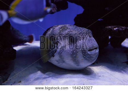 Portrait of a puffer fish on the bottom