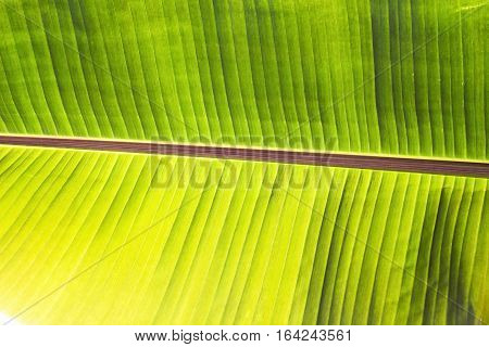 Texture abstract background of back light fresh green banana tree leaves. Macro image beautiful vibrant tropical pointy leaf foliage plant background texture