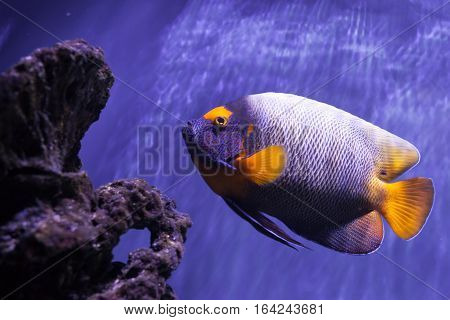 Yellow-faced angelfish swimming near reefs. Pomacanthus xanthometopon