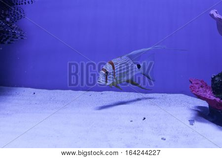Snapper fish swimming underwater at the bottom. Symphorichthys spilurus