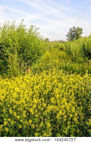 Fresh green willow shrubs and yellow flowering rapeseed In a Dutch nature reserve. It is a sunny day in the summer season with white contrails in the blue sky