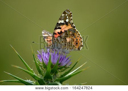 painted lady butterfly is busy in wild flower. she is enjoying the nector