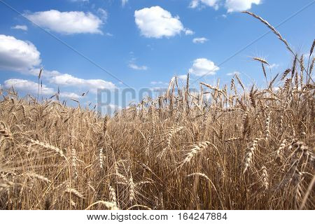 Landscape with lot ears of ripe rye on rural field under blue sky with clouds on summer day closeup. View from the bottom up