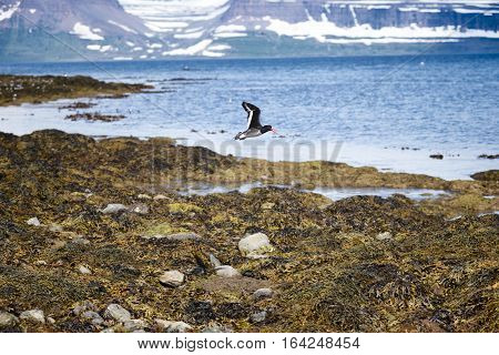 Black Guillemot in flight and the mountainous Westfjords peninsula of Northwestern Iceland viewed from Vigur Island in Isafjordur Bay. Shallow depth of focus.