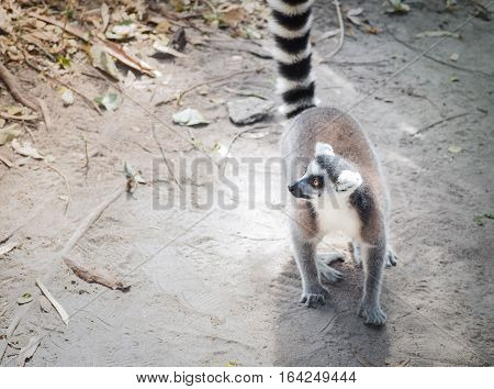 Ring-Tailed Lemur (Lemur catta) Outdoor Shot, With Place Your Text