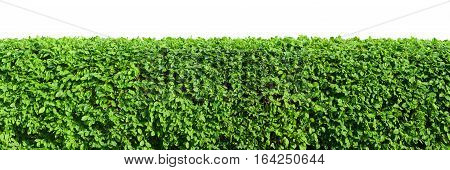 Green cutted hedge isolated on white background