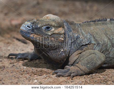 Closeup image of the rhinoceros iguana in its habitat