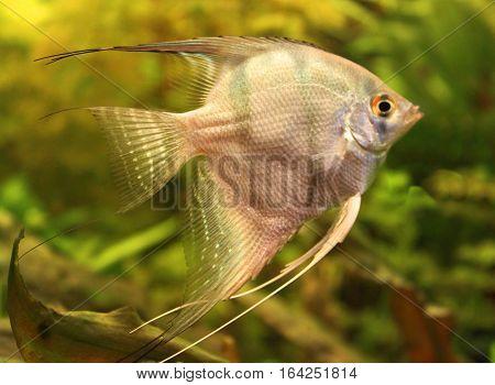 Silver angelfish in the aquarium (close up)