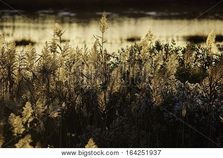 Backlit phragmites along shoreline of Massachusetts marsh