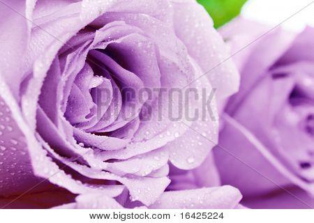 Purple rosebuds
