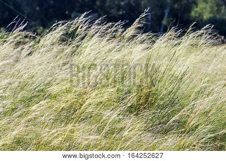 Feather hairlike ( lat. Stipa capillata). Perennial monocotyledonous herbaceous plant; a species of the Grass family Gramineae or Grasses (Poaceae).Wild plants of Siberia