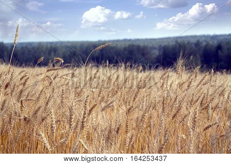 Lot ears of rye on rural field on summer day. Horizontal view closeup