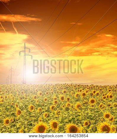High-voltage power line masts in the field of sunflowers,sunset sky
