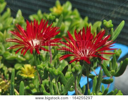 Red And White Flowers With Green Back Ground Foliage 09aas