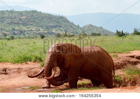 Kenya's red elephant taking a mud bath in the East Tsavo Park