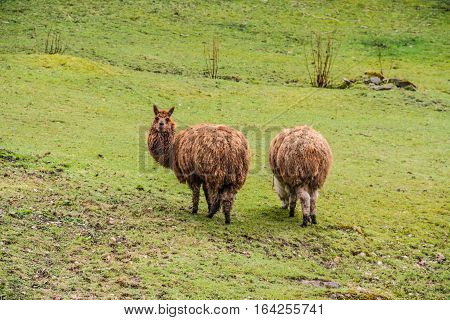 Two brown lama out in the fields