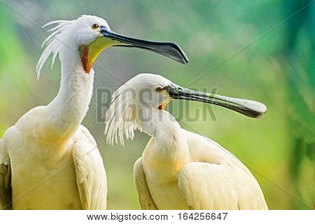 Spoonbill Birds Portrait - Platalea Leucorodia shot at Kolkata West Bengal India