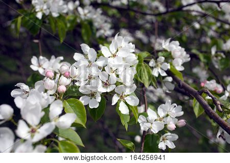 Deep apple tree branches with many white flowers blossom in spring on sunny day close-up