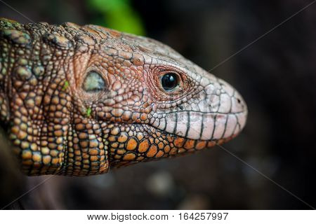 Close-up portrait of a Northern caiman lizard (Dracaena guianensis).