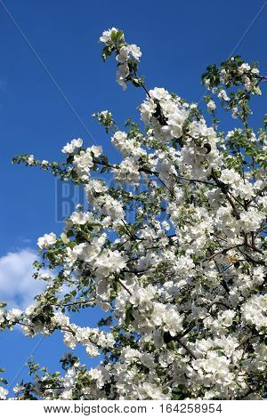 Blossom deep apple tree branches with many white flowers in spring on sunny day vertical view close-up