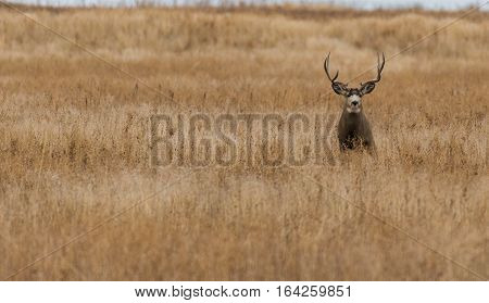 Mule Deer Buck Alone on the Vast Prairie