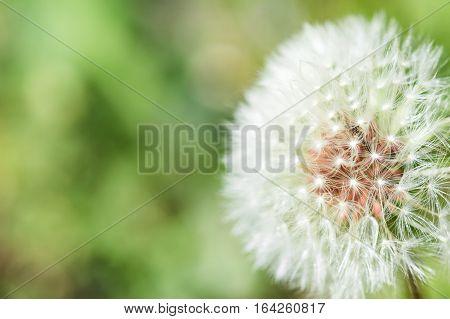 Close up photo of dandelion flower, fluff
