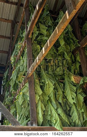 This tobacco, just cut and brought in from the field will hang in tobacco barns to air cure until it is ready to be stripped by hand off of the stalks baled and sold.