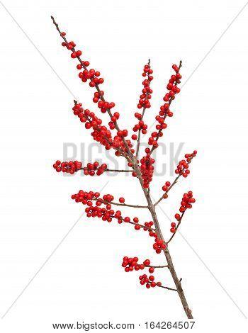Ilex Verticillata Or Winterberry
