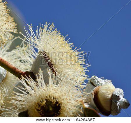 Eucalyptus flower in full splendor with blue sky background
