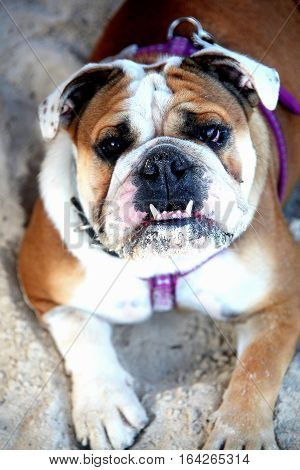 Portrait of a sad looking bulldog sitting on the beach outdoors.