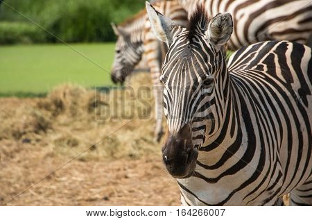 These zebras grazing in the zoo went wide.