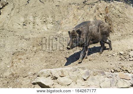 Wild boar or wild pig (lat. Sus scrofa)