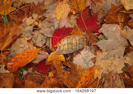 Colorful autumn leaves covering the ground in Cleveland, Ohio.