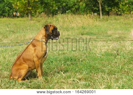 Young dog breed German boxer on a leash sitting on the grass