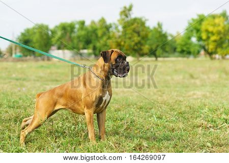 Young dog breed German boxer on a leash is in the front