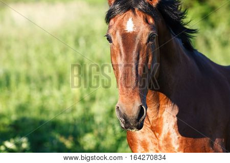 View of bay horse on a green background