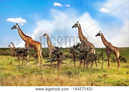 A herd of giraffes in the African savannah on the clouds background. Serengeti National Park . Tanzania.