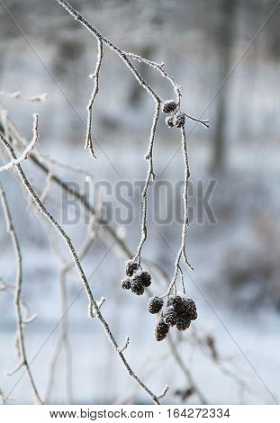 frozen twig of alder with cones covered with hoarfrost in winter