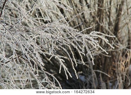 fragile twigs covered with hoarfrost and snow in winter