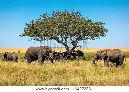 African elephants under the tree in the savannah. Tanzania.
