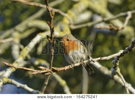 European Robin - Erithacus rubecula in winter sunlight