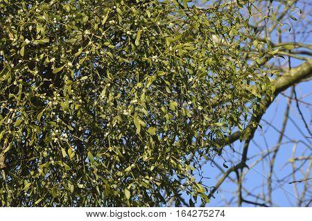 Large clump of Mistletoe in old tree - Viscum album