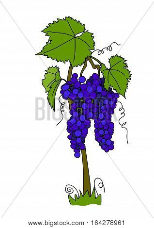 The bush of blue grapes on a white background.