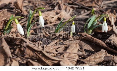 Gentle snowdrop growing through dried leaves. Galanthus nivalis first spring flowers snowdrops growing in garden