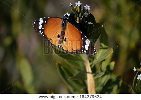 queen butterfly enjoying nector from tiny white flower.