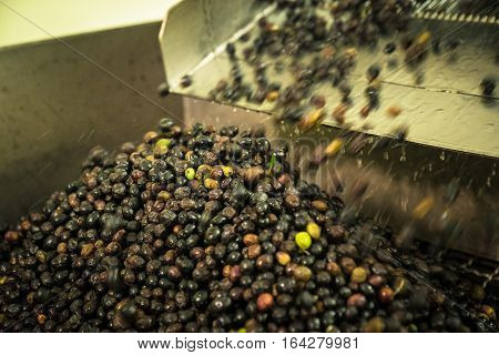 Processing Of The Olives In A  Oil Mill.