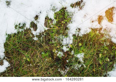 First green grass from under snow. Green grass covered with snow.