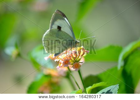 cabbage white butterfly is enjoying wildflower nector.