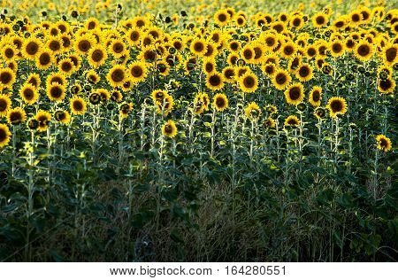 close up shot of the sunflowers field